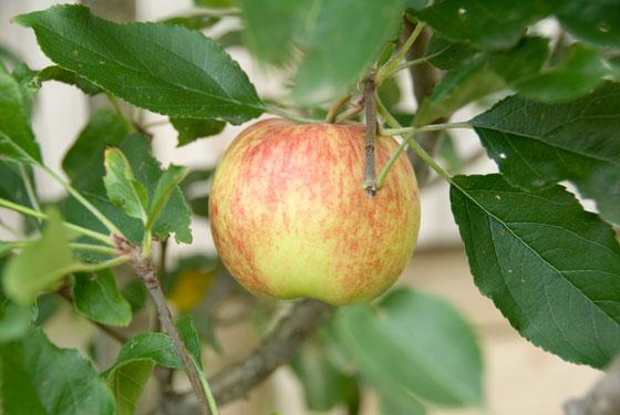 560x375_Apples_01