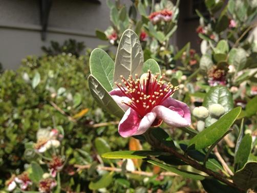 feijoa blossom