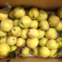quince in a box