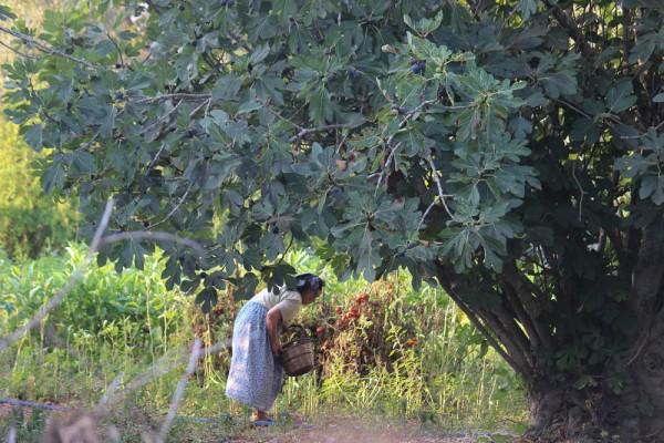 Figs Fethiye Turkey (1 of 1)