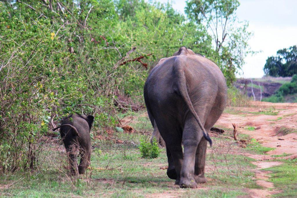 elephants udawalawe foodloversnz