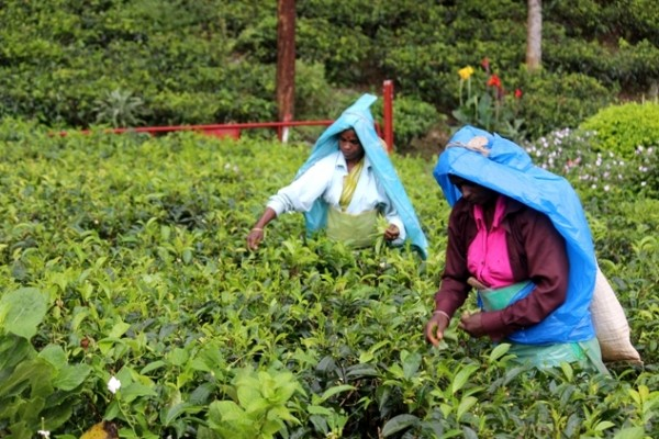 tea plucking foodlovers